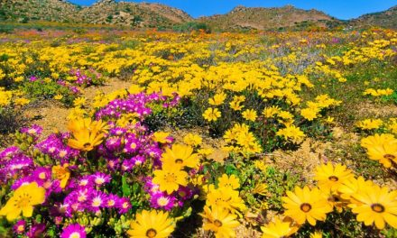 'Spring' Yourself A Lovesong, South Africa